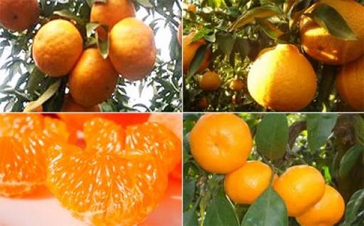 【4回頒布会】フジカワ果樹園オリジナル・季節の柑橘セット