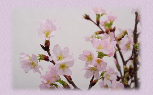 啓翁桜(ケイオウザクラ) 米沢から一足早い春のお届け