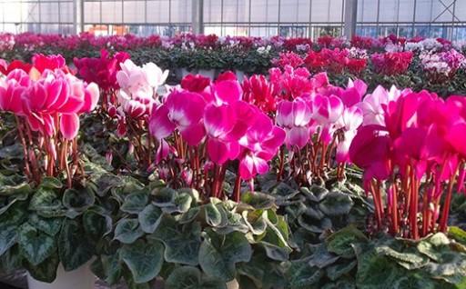 冬を彩る鉢花の女王「シクラメン」★限定30鉢★