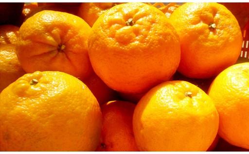 柑橘の里 須崎 柑橘特集