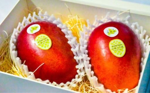 【数量限定】真冬の北海道で収穫するマンゴー「白銀の太陽」