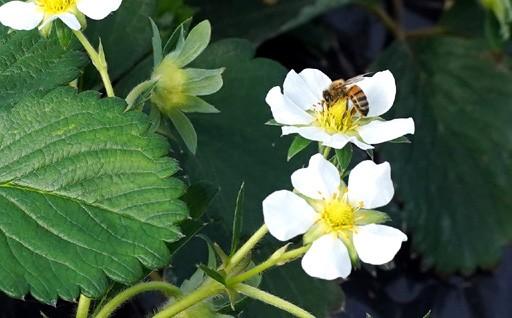 """ミツバチたちが頑張って受粉中!柏井農園のいちご""""清香"""""""