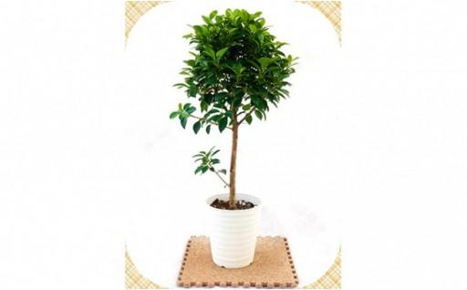 プロが選ぶ観葉植物~フィカス ナナ 5号鉢~