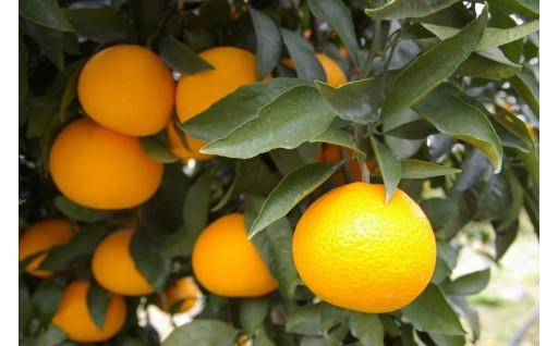 柑橘の本場、和歌山県有田市から人気の「清見」をお届け!