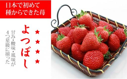 新種!四つ星級のイチゴ「よつぼし」
