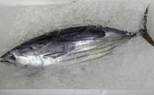 【3月発送開始】一本釣りの初ガツオを港市場から直送します!