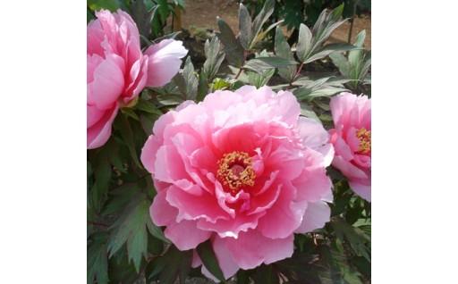 【須賀川牡丹園の入園券】7千株の花が咲き誇ります