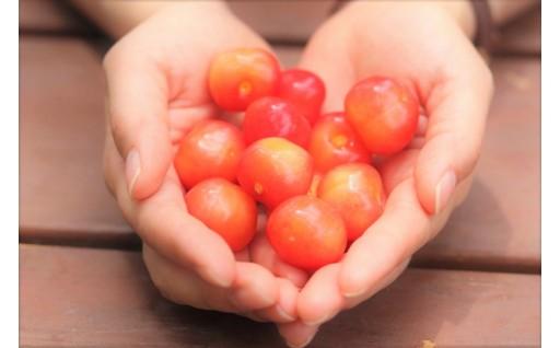 果樹王国やまがたの鶴岡産さくらんぼをご賞味ください!
