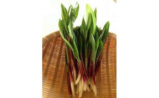 予約受付【新登場】もうすぐ山菜の季節です!天然行者にんにく!