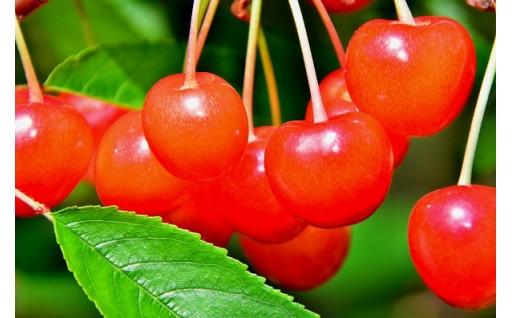 【新潟県聖籠町】真っ赤に輝く大粒のさくらんぼはいかがですか?