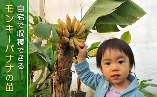 自宅で栽培! ドワーフ・モンキーバナナの苗をお届けします!