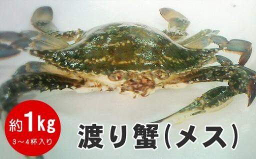【先行予約】新鮮採れたて地物ワタリガニ(雌・子持ち)