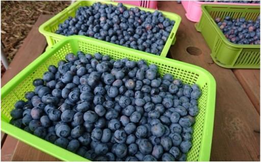 ☆数量限定☆小さな森の奥にある農園の新鮮ブルーベリー!