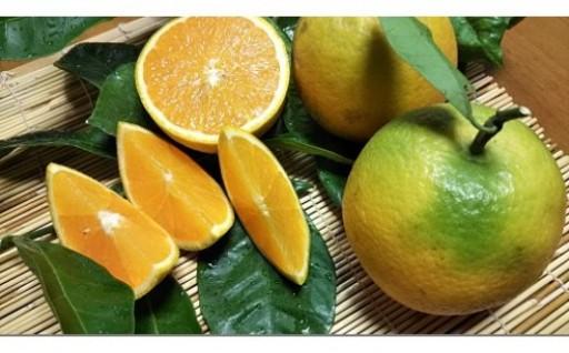 【数量限定】有田市生まれのバレンシアオレンジ!