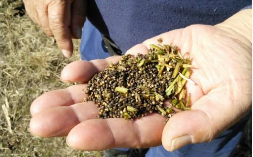福岡県築上町で収穫したこれは、何の種かわかりますか?