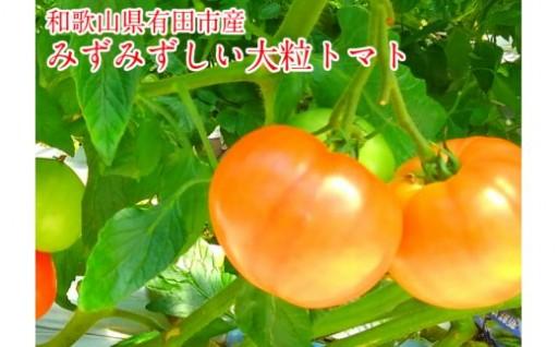 ジューシーで濃厚な味わいが特徴の有田市産の大粒トマト!