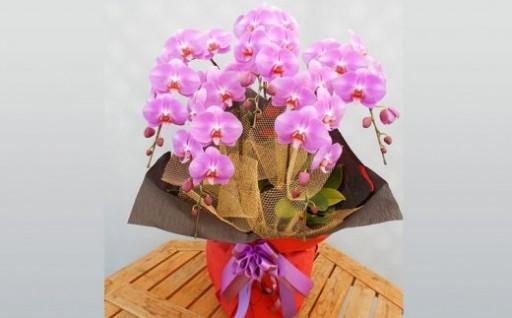 【花言葉は幸福の飛来】胡蝶蘭(こちょうらん)5本立<大輪>