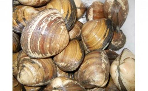 ★7月末まで!【刺身や炊き込みご飯に】ホッキ貝(3kg)