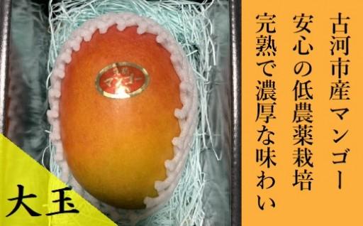 茨城県でマンゴーが( *´艸`)『茨城完熟マンゴー』大1玉♬