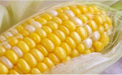 【十勝・大晶ファーム】農薬・化学肥料不使用の有機とうもろこし