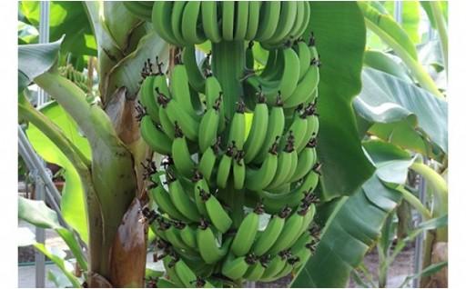 光市産の国産バナナ「奇跡のバナナ」