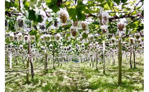 森本果樹園のブドウ