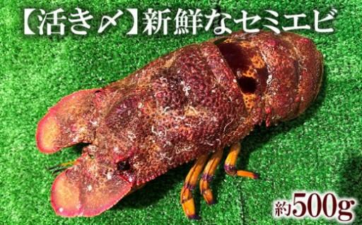 【活き〆】新鮮なセミエビ(約500g)