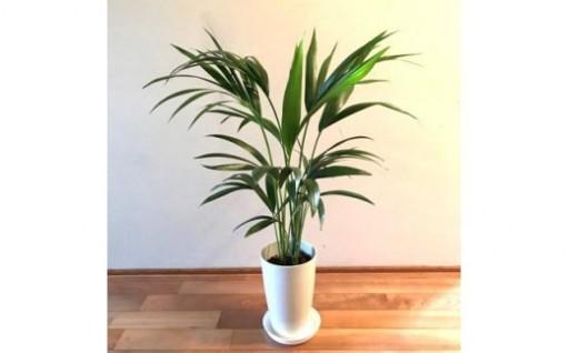 お部屋に南国ムードが漂う観葉植物「ケンチャヤシ」