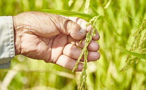 脱藩の道がある村で育った、じぃちゃんが手間暇かけて育てたお米