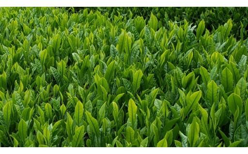 三田特産『母子茶』、兵庫県茶品評会で農林水産大臣賞受賞