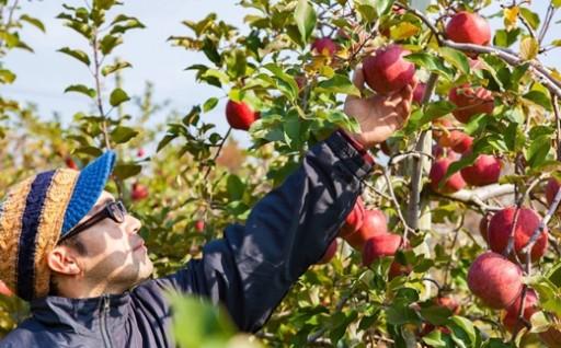 食べごろで届く、りんご・洋ナシ果物セット♪