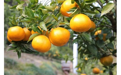 和田果樹園の柑橘 「はるみ」 5kg