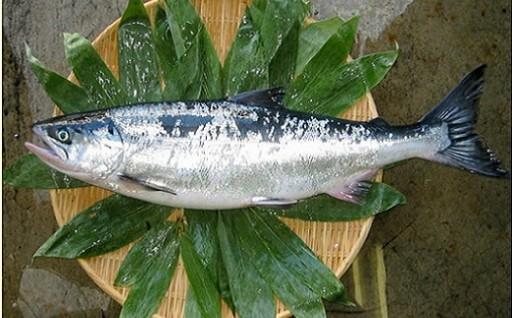 希少なブランド鮭「銀聖」を内臓未処理・塩蔵加工なしでお届け!