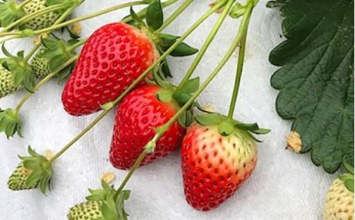 古都に咲く真っ赤な華いちご「古都華」