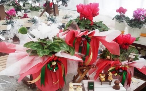 クリスマスのプレゼントにもおすすめ!シクラメン2鉢セット