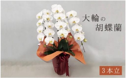 大輪の胡蝶蘭3本立て