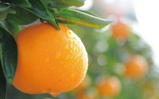 串間市の豊かな大地で育った果物特集