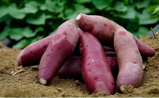 上品な甘さと滑らかな舌触りのサツマイモ「シルクスイート」