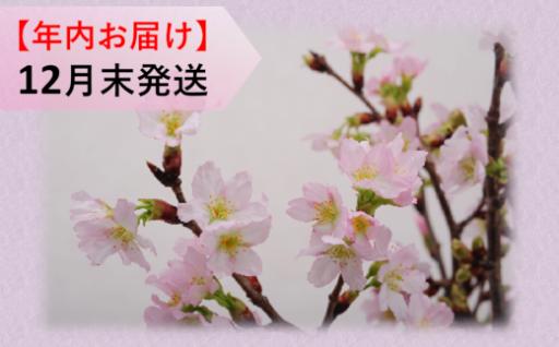 【一足早い春の訪れ】啓翁桜_スタンダード