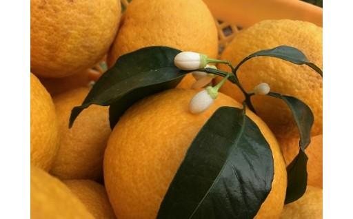 獅子島伝統果物 紅甘夏