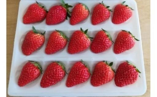 朝採れ完熟紅ほっぺイチゴ15粒入✖3セット
