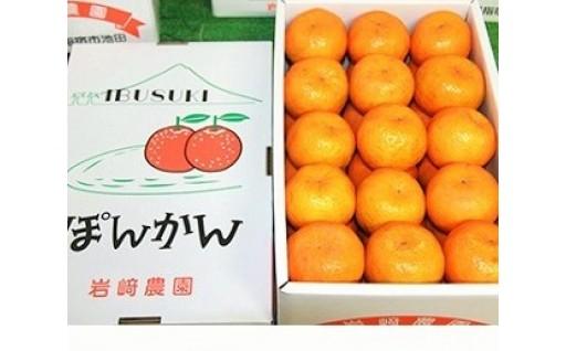 鹿児島県指宿産 贈答用ポンカン(サイズはおまかせ)