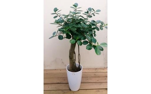 観葉植物を育ててみませんか。珍しい一品「パンダガジュマル」
