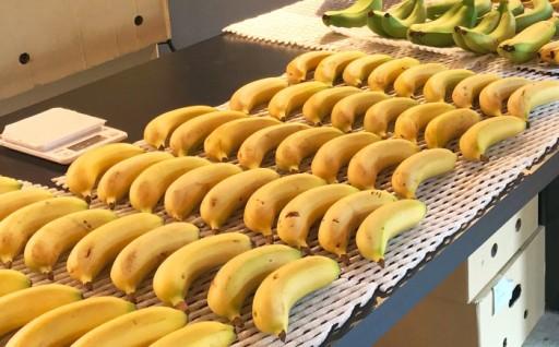 ひかりバナナはグロスミッシェル種
