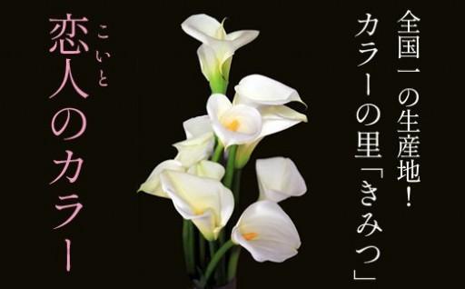 君津市特産の花【恋人のカラー】15本(75cmサイズ)