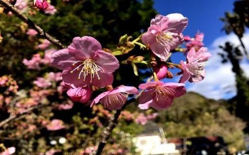 みなみの桜と菜の花まつり開催中!