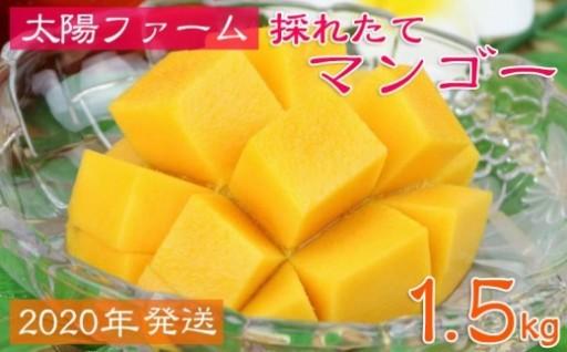 【2020年発送】太陽ファームの採れたてマンゴー1.5kg