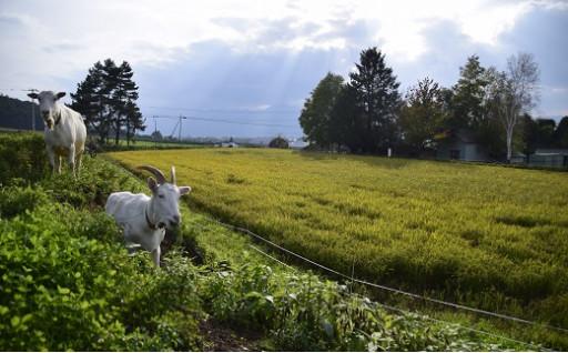 【令和元年度米】ウメェ米おぼろづき(栽培期間中農薬不使用)