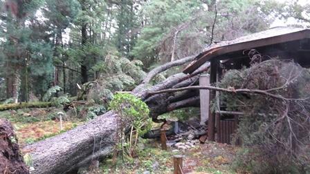 府立植物園(京都市左京区)では、台風21号の強風の影響により、園内の樹木約100本が倒れ、10月23日から26日までの休園を余儀なくされました。中には、原産地のレバノンにもほとんど残っていないレバノン杉が倒れましたが、現在、再生のための取組を進めています。