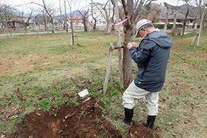 老朽化した桜の樹勢回復のための4ヶ年計画のうち今年度にかかる経費の一部
